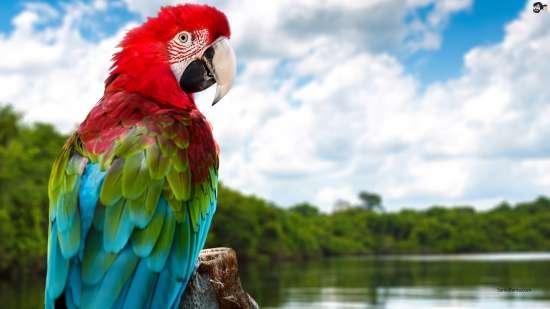 Алмазная мозаика 30x40 Попугай из Амазонки