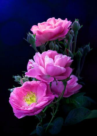 Картина по номерам 40x50 Ярко-розовые розы