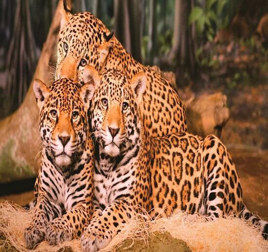 Алмазная мозаика 40x50 Семейство африканских леопардов