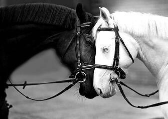 Картина по номерам 40x50 Черная и белая лошади