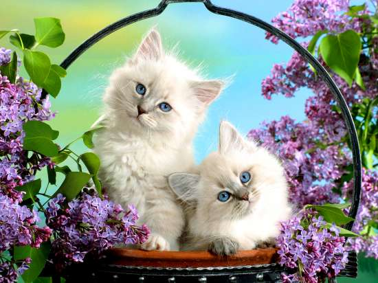 Картина по номерам 40x50 Белые котята в корзине среди сирени