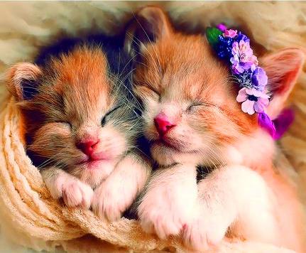 Картина по номерам 40x50 Два спящих котенка