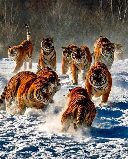 Алмазная мозаика 40x50 Стадо тигров в зимней лесу