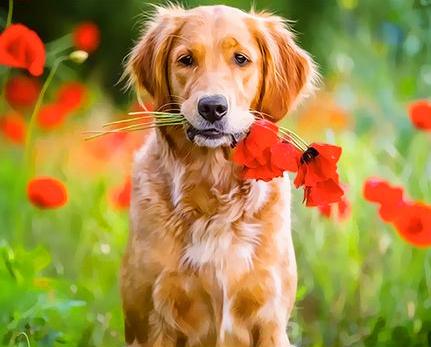 Картина по номерам 30x40 Рыжий пёс с маками